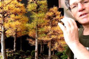 Larch Bonsai Forest The Bonsai Seed